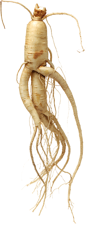 GINLAC - Korean Ginseng - Support your health.